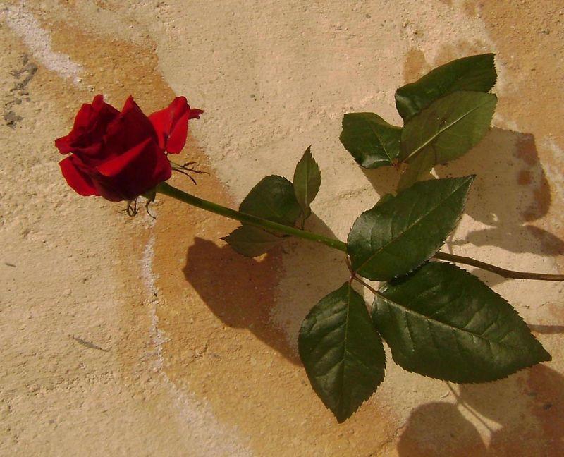Rose-de-mars4