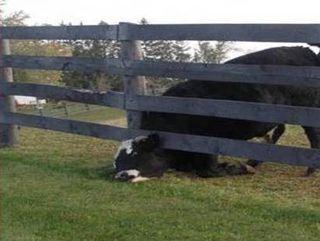 Vache coincée bis