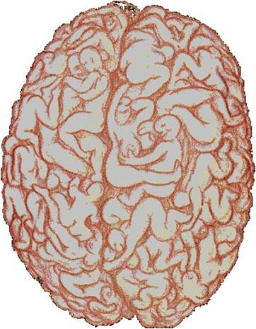 Cerveau masculin