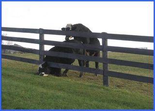 Vacxhe coincée avec tuareau