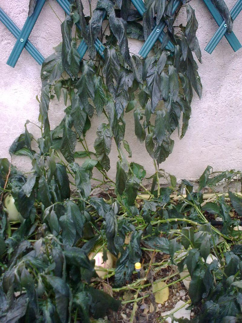 Solanum gelé